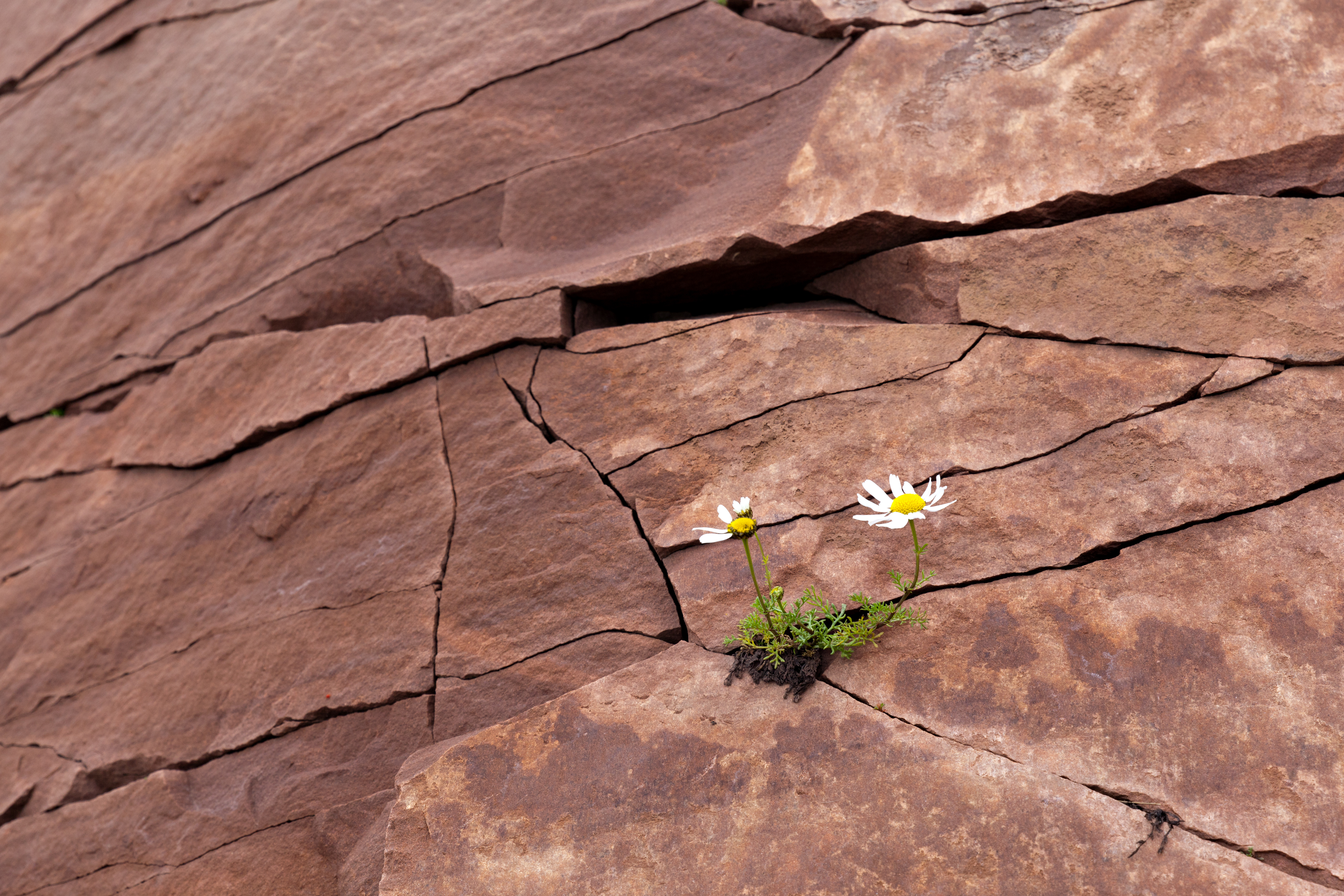 Arctic dwarf daisies grew in a crack in the rock. The concept of the will to live